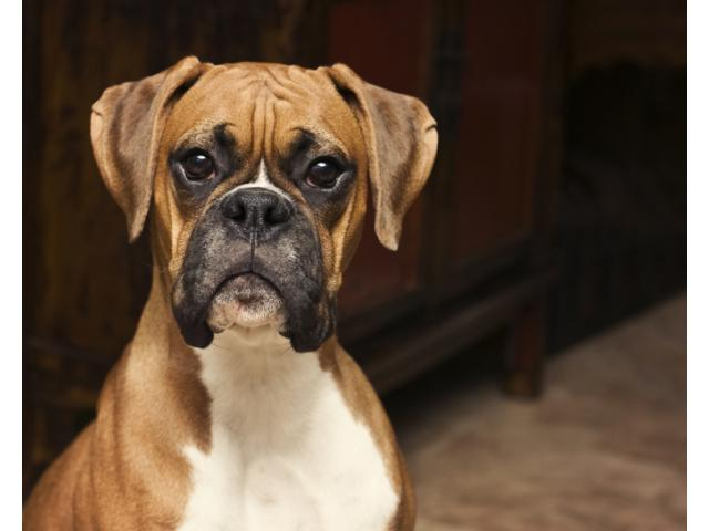 Boxer Dog For Sale On Fixed Price Ambalacantt Dogs For Sale