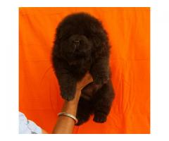 chow chow black female pup a for show homes