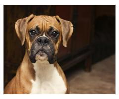 Boxer dog for sale on fixed price