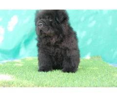 all colour chow chow pup aviable