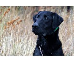 Top quality Labrador adult female For sale
