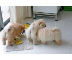 chow chow FML puppy sale