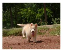 Siberian Husky pups avlb for sale