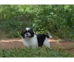 Shihtzu female pups with Kci paper avlb