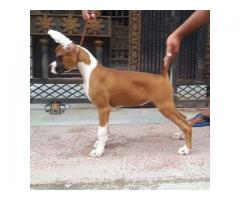 Show Quality Boxer Female with Paper