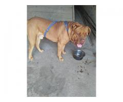 franch mastiff 1 yera old