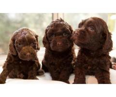 Cocker Spaniel Puppies in Chandigarh, Jalandhar & Punjab at 9780741013