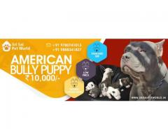 American Bully - Dogs for sale - Adopt, Buy & Sell KCI