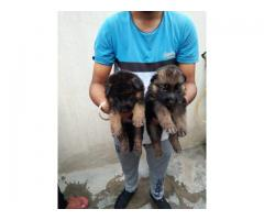 Show quality German Shepherd puppy available