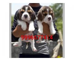Top quality Beagle pup's available for sale