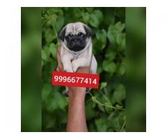 Show quality Pug puppies available