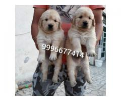 Show quality Golden Retriever pup available for sale
