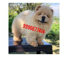 Show quality Chow chow pup available
