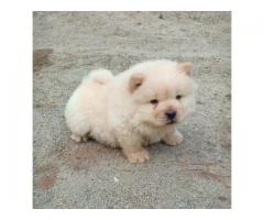 Chow chow puppy buy in jalandhar city 9888121106