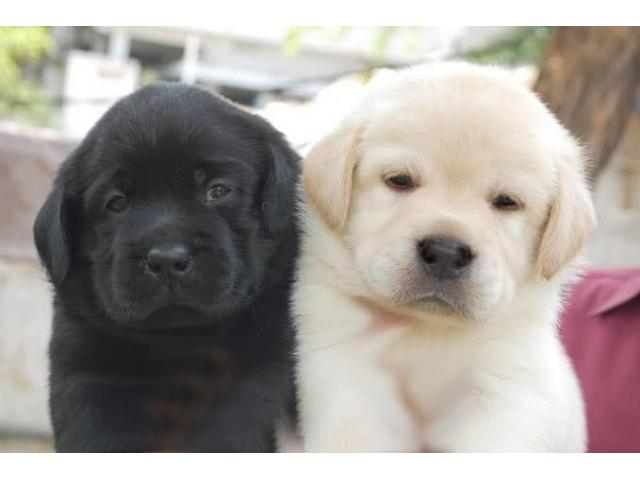 Labrador puppy for new home 9582799502