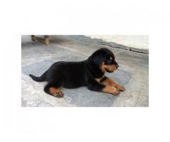 Rottweiler High Quality Male