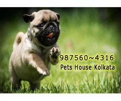 Imported Quality Vodafone PUG Dogs Pets Sale At ~IMPHAL