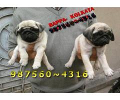Show Quality Vodafone PUG Dogs Pets Available At ~ Tollyging SOUTH CITY