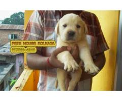 Original Top LABRADOR Dogs Pets Sale At ~MALDA
