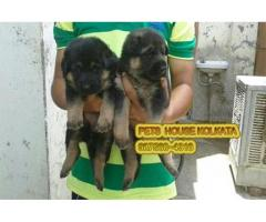 Show Quality GERMAN SHEPHERD Dogs Pets Available At ~KHARAGPUR