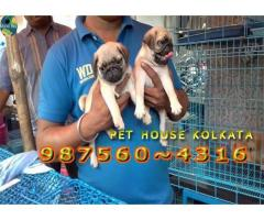 Show Quality Vodafone PUG Dogs Pets Sale At ~ SILIGURI