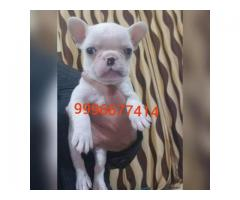 Show quality French bulldog puppies available
