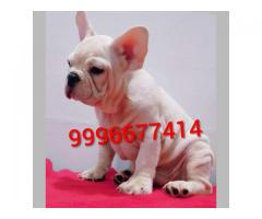 Import pedigree French bulldog puppies available