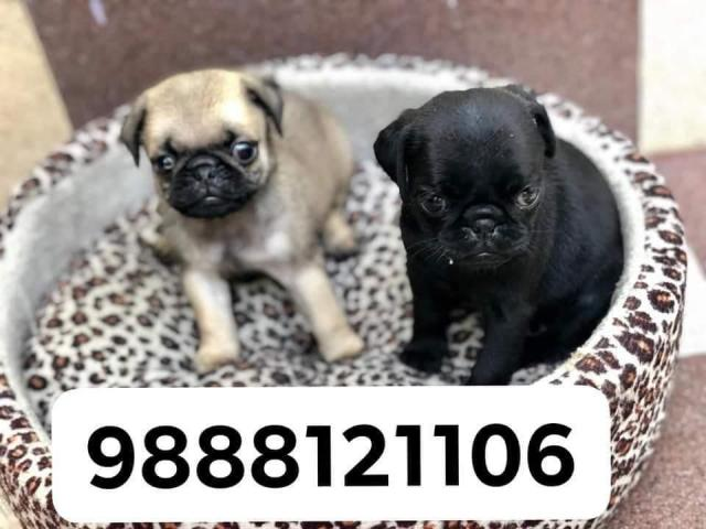 Pug puppy buy in jalandhar city call me and WhatsApp