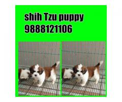Shih tzu puppy buy in online jalandhar city