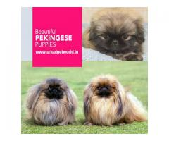 Beautiful Pekingese puppy in Jalandhar and Chandigarh - 9888341827