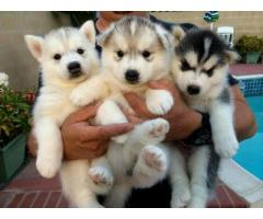 Charming Siberian Husky puppies