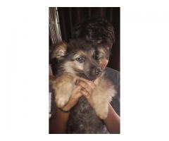 70 day old friendly GSD for sale