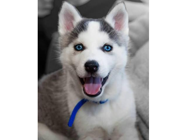 Champion lineage Serbian Husk with blue eyes  puppies are available