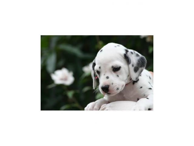 Dalmatian female was  puppy with vaccination and deworming are doned