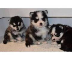 Adorable Siberian Husky Puppies For You