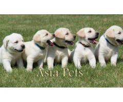 The Pet Point Healthy Labrador puppy for sale in Delhi Ncr