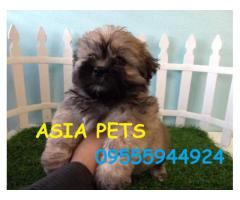 The Pet Point Healthy Lhasa apso puppy for sale in Delhi Ncr