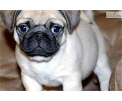 Top Line Pug Pups For Sale In Testify Kennel 9971331250