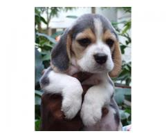 Show Quality Beagle Breed Top Quality Puppies Available at Aryan Kennel