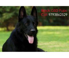 Pure Black German Shepherd long coated Puppies available