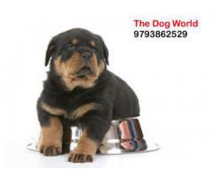 Heavy Bone Punch Face Rottweiler Puppies available