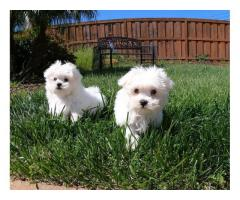 Maltese Puppies ForSale.whatsapp me at: +447418348600
