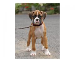 boxer puppies for sale in indore at dog kennel 8982569583