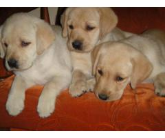 The Best Kennel offer We Have Labrador puppies for sale in Best Price