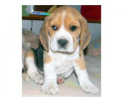 The Best Kennel offer We Have Beagle puppies for sale in Best Price