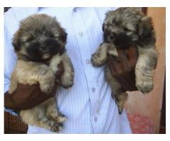 The Best Kennel offer We Have Lhasa apso puppies for sale in Best Price