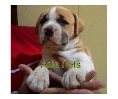The Best Kennel offer We Have Pitbull puppies for sale in Best Price