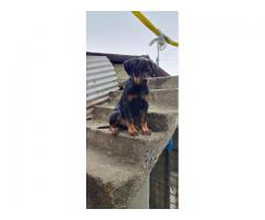 4 months fully vaccinated rottweiler