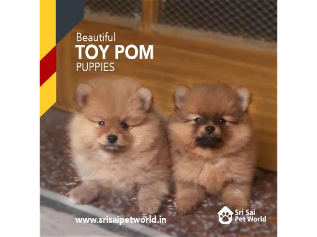 Toy Pom for sale | Male Puppies in India at Best Price | Toy Pom in Chandigarh and Jalandhar