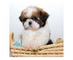 The Best Pet Point offer for Shih tzu puppies for sale in Best Price